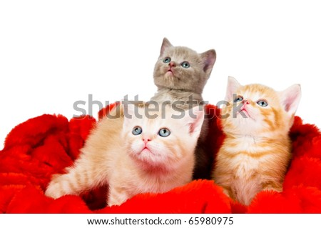 Three little british shorthair kittens cat isolated sitting in red velvet