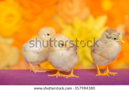Three little chicken on a bright background.