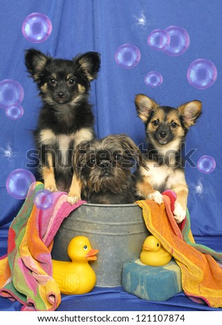 Three little dogs sit in a bath tub with rubber ducks and bubbles. - stock photo