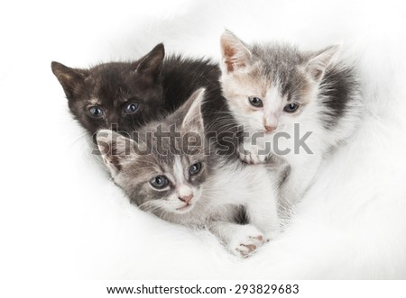 Three little kitten on a fluffy white fur isolated on white background
