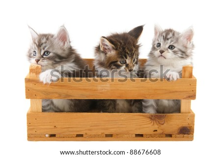 Three little Maine Coon breed kittens in wooden crate