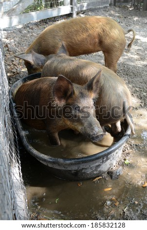 Three little pigs bathing in water