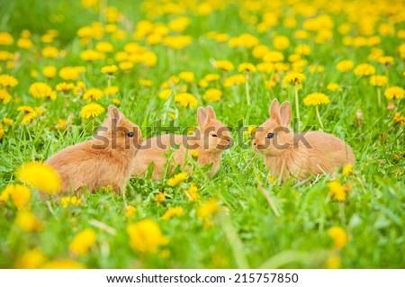 Three little rabbits outdoors - stock photo