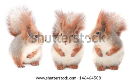 three little squirrel eats hazelnut on a white background - stock photo