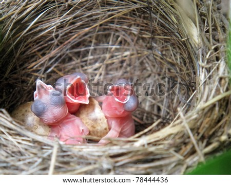 three little White Wagtails hatching in the nest - stock photo