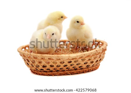 Three little yellow chick in the nest isolated on white background - stock photo