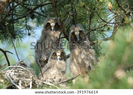 Three Long-eared baby owls (Asio otus) before leaving the nest  - stock photo