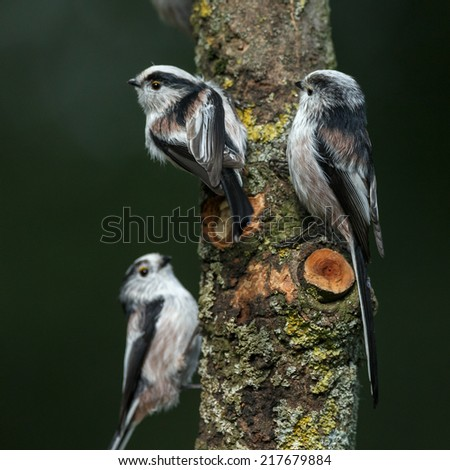 Three Long tailed Tit perched on a twig  - stock photo