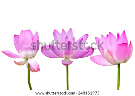 three lotus flowers isolated on white background