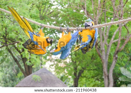 three macaws hanging upside down on a rope, silly birds - stock photo