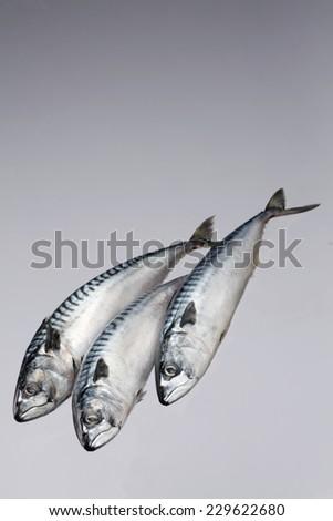 Three mackerel fish isolated on white background - stock photo