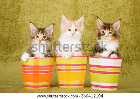 Three Maine Coon kittens sitting inside striped pots containers on green background  - stock photo