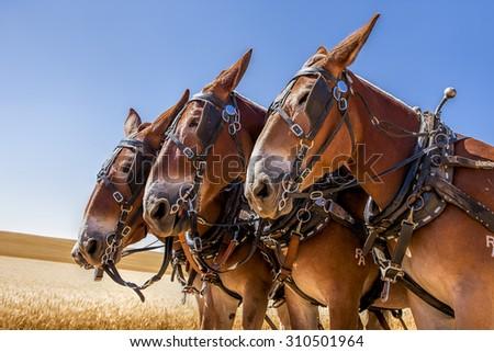 Three majestic horses near Davenport, Washington. - stock photo