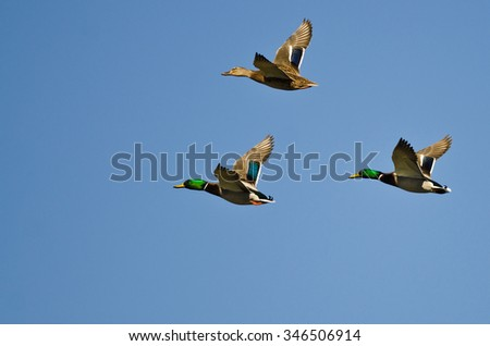 Three Mallard Ducks Flying in a Blue Sky - stock photo