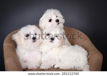 Three Maltese puppy in studio - stock photo