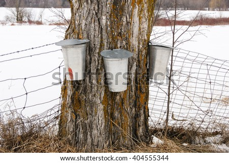 Three maple syrup buckets hang on a Maple tree in late winter in rural Ontario Canada. - stock photo