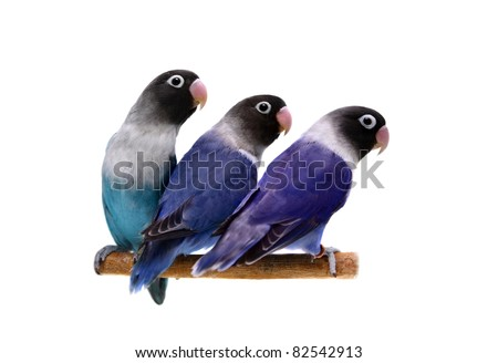 Three masked lovebirds on the white background - stock photo