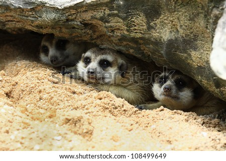 Three meerkat sleep under the rock