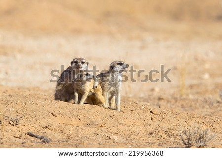 Three Meerkats against a blurred natural background, one embracing another, Kalahari Desert, South Africa - stock photo