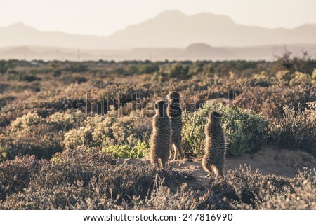 Three meerkats at sunrise standing towards the sun. Warming up. The Little Karoo. Western Cape. South Africa. - stock photo