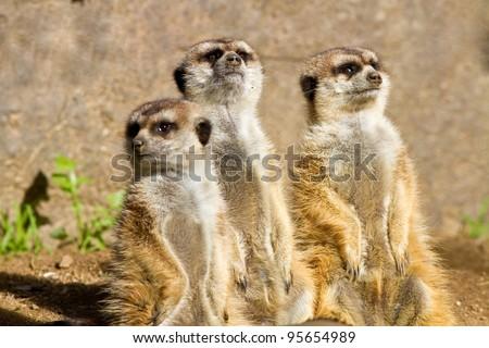 Three Meerkats in captivity looking up - stock photo