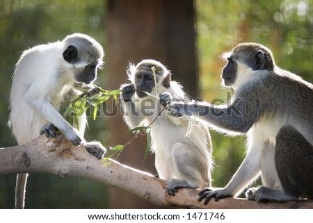 Three monkeys eating a branch