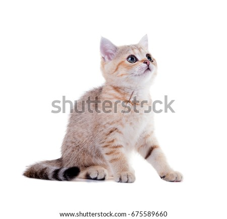Three month old kitten   British Shorthair.  Color: Black Golden Shaded. Isolated on white background