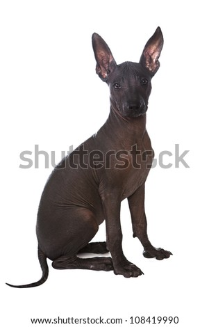 Three month old Mexican xoloitzcuintle puppy over white background - stock photo