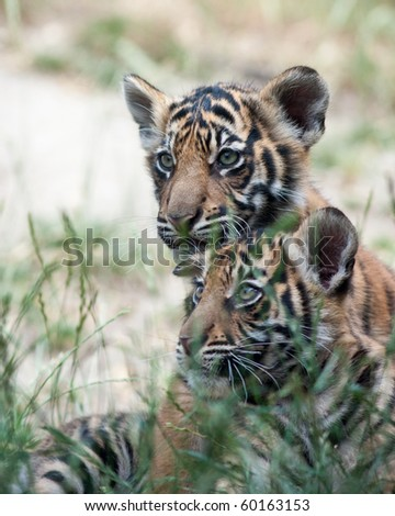 Three month old tiger cubs - stock photo