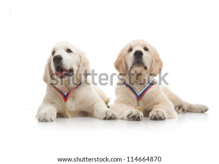 three-month puppy golden retriever ,shot in the studio on a white background - stock photo