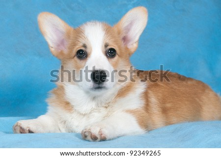 Three-month puppy of a Cardigan Welsh Corgi in studio on blue background