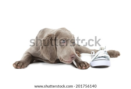 Three months old Weimaraner puppy chewing the lace of a shoe, isolated on white  - stock photo
