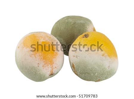 Three mouldy oranges isolated on a white background