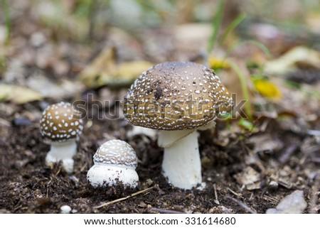 Three mushrooms Amanita pantherina- toxic mushrooms - stock photo