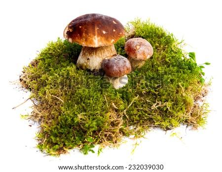 Three mushrooms Boletus edulis - porcino - growing in the moss isolated on white background - stock photo