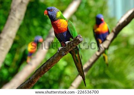 Three native Australian Rainbow Lorikeet sit on a tree. - stock photo