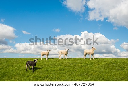 Three newborn white lambs and one black lamb standing on the Dutch dike. It is a sunny day in the beginning of the spring season. - stock photo