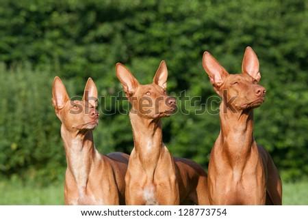Three nice dogs - Pharaoh Hound - stock photo