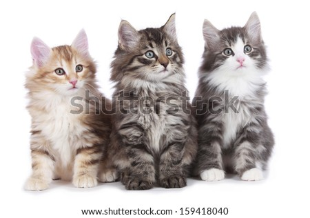 Three norwegian forest cats side by side