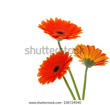 Three orange Gerber flowers, daisies  isolated on white - stock photo