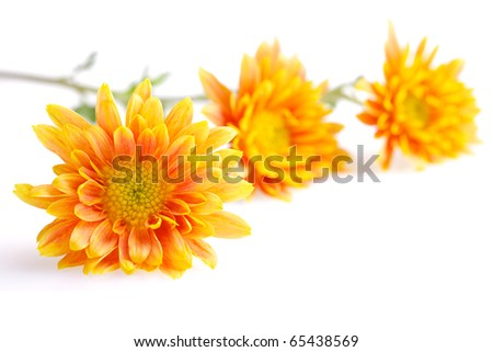 three orange with yellow chrysanthemums isolated on white