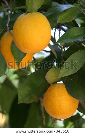 three oranges on a tree