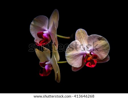 Three Orchids with black background / Orchid Trio / Three Orchids with black background  - stock photo