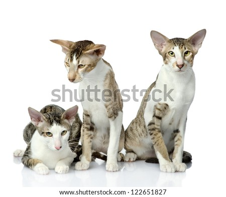 three oriental cats together. isolated on white background