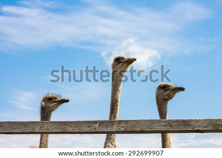 Three ostriches on a blue background