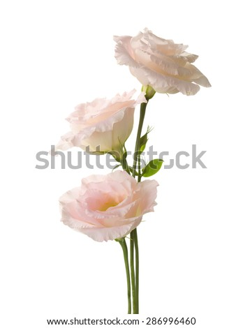 Three pale pink flowers (Eustoma) isolated on white.  - stock photo