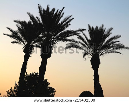 Three palm three on the background of sunset - stock photo