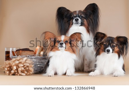 three papillon dogs together - stock photo