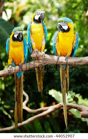 Three parrot in green rainforest. Outdoor. - stock photo