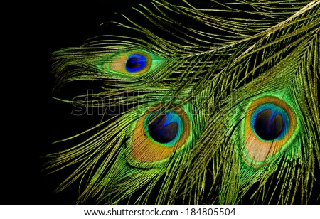 Three peacock feathers on a black background - stock photo